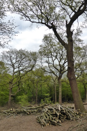 Coppicing in Queens Wood