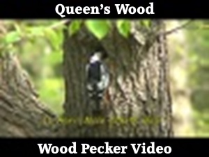 Woodpecker Video